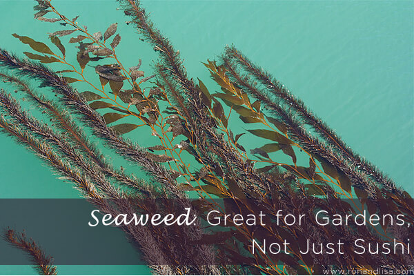 Seaweed:  Great for Gardens, Not Just Sushi