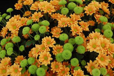 Chrysanthemum1