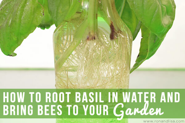 How to root basil in water and bring bees to your garden for How to water a garden