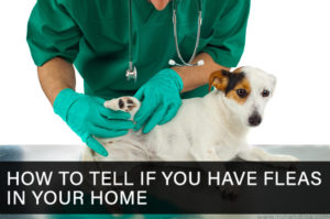 How to Tell If You Have Fleas In Your Home